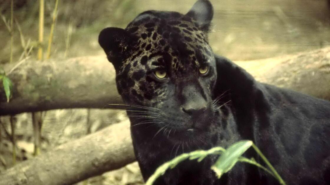 Un léopard noir extrêmement rare photographié en Inde
