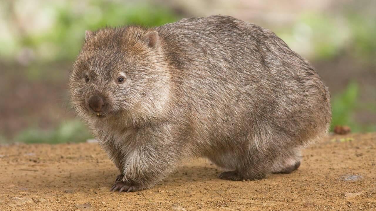 Le wombat ou le mystère des cacas cubiques