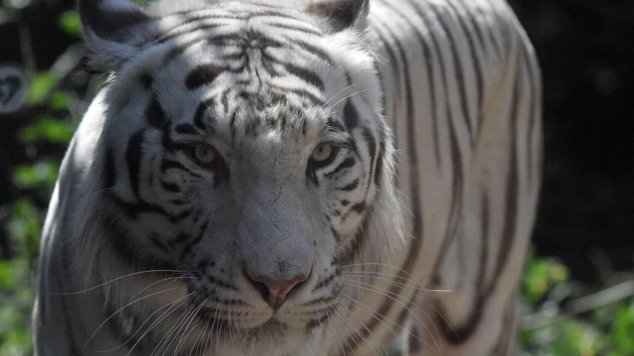 Indonésie: un tigre capturé après avoir réussi à s'échapper d'un zoo