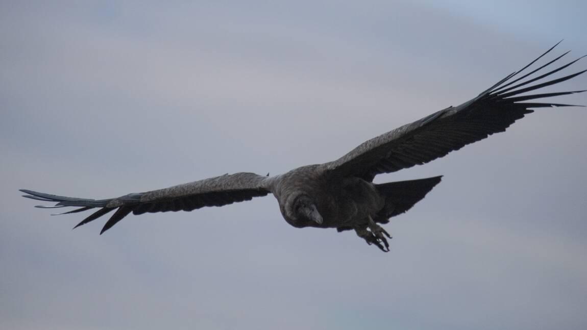 Enquête en Bolivie après la mort de 35 condors, présumés empoisonnés