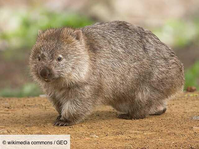 Australie : des dizaines d'animaux sauvés de la sécheresse par... des wombats !