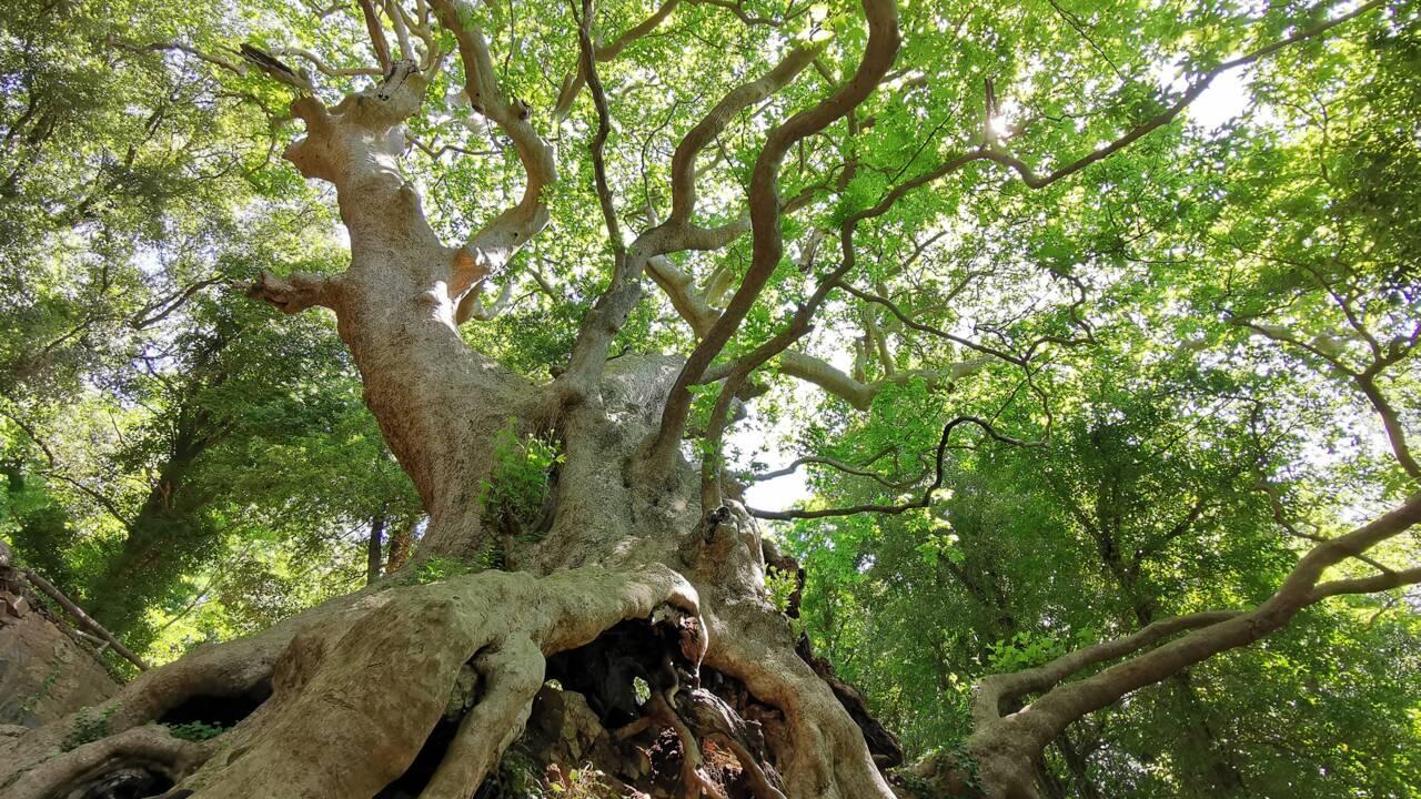 Votez pour élire l'arbre européen de l'année 2021