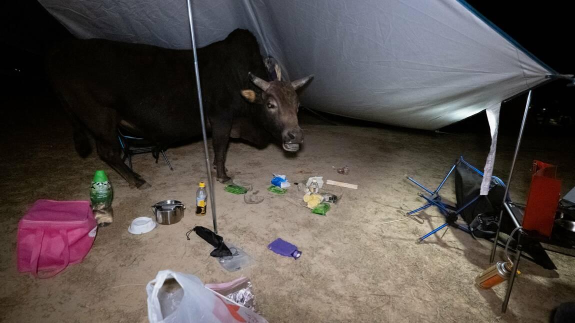 Hong-Kong : les vaches sauvages menacées par l'essor du tourisme local