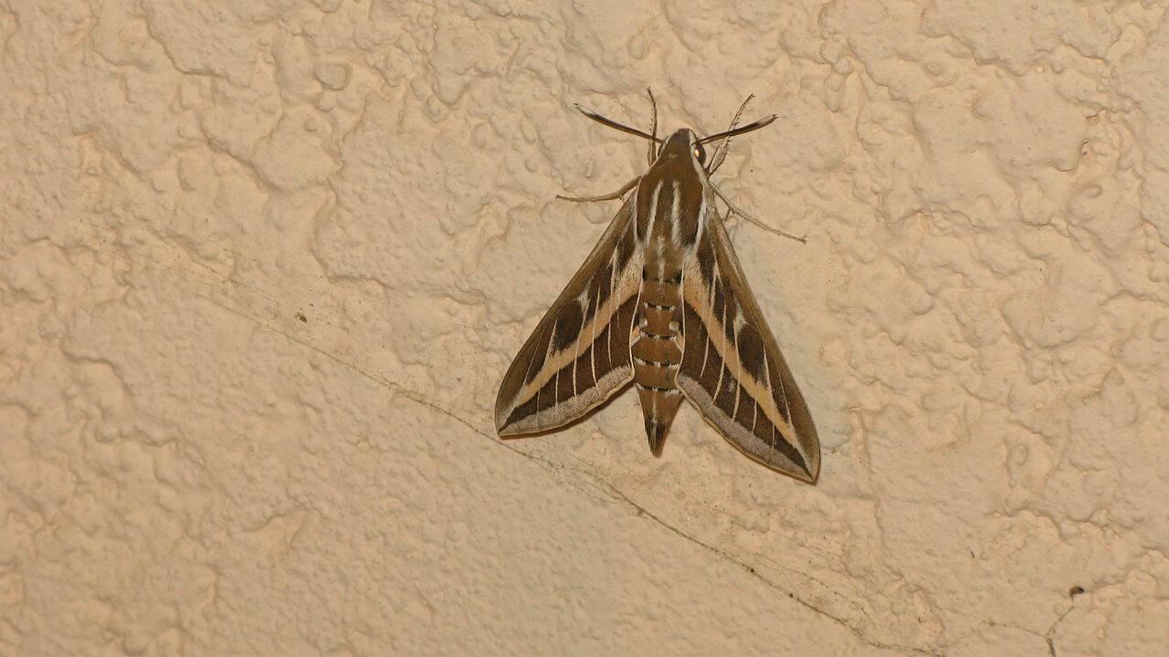 Papillon de nuit : un insecte étonnant