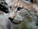 Lynx boréal : portrait d'un félin rare et protégé