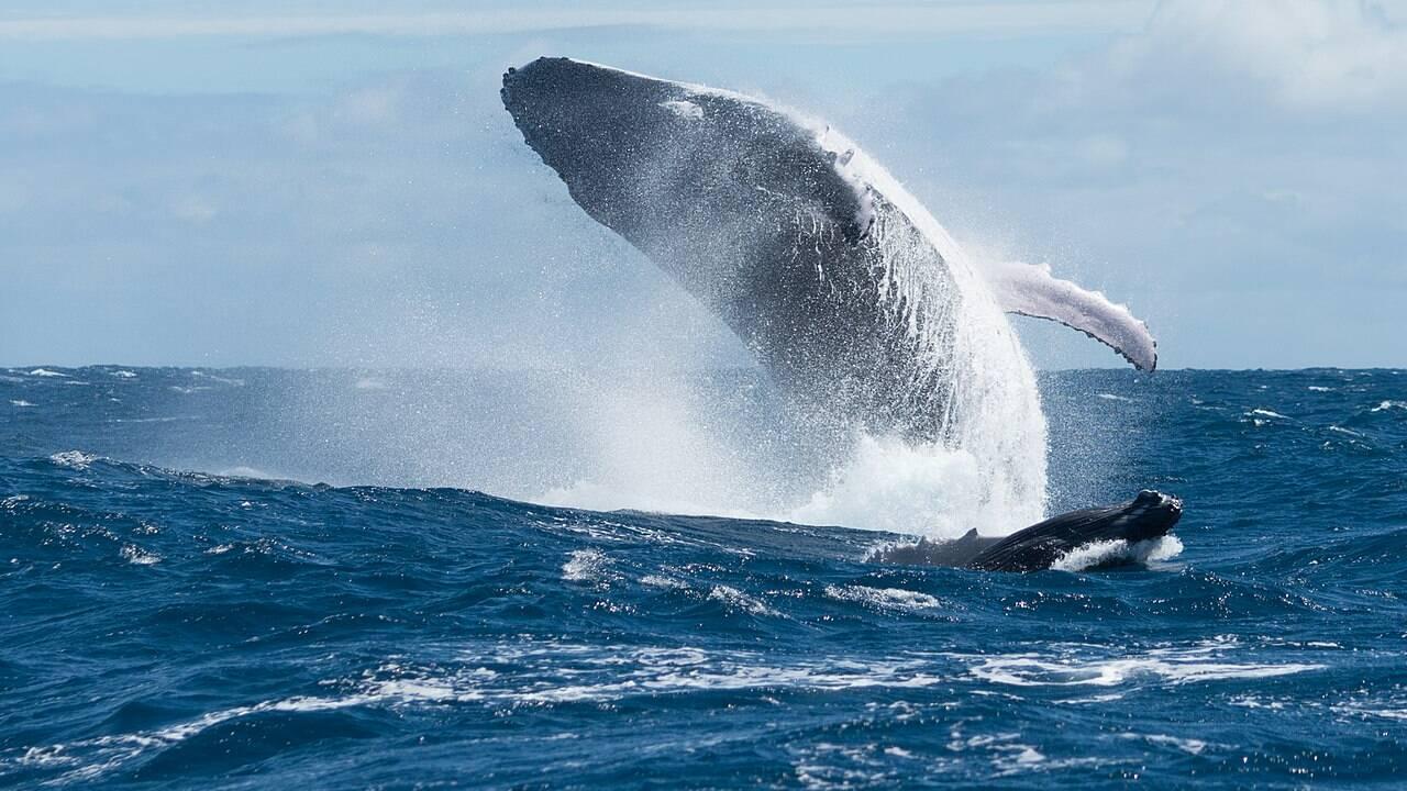 A quoi servent les fanons de la baleine ?