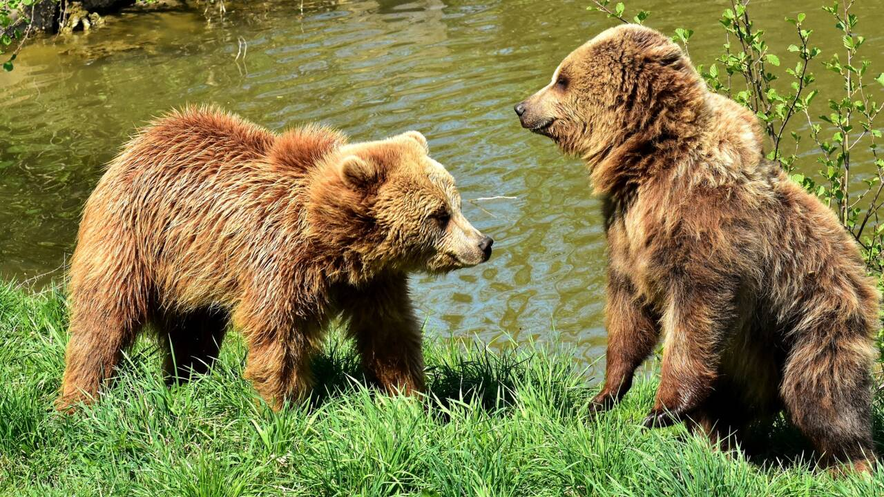 Tout ce qu'il faut savoir sur les ours