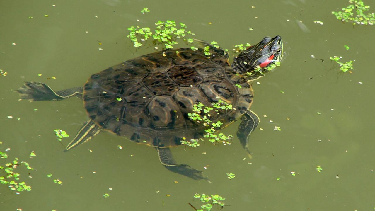 Quelles sont les caractéristiques de la tortue aquatique ?
