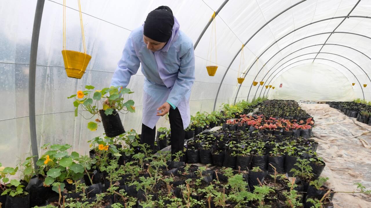 En Tunisie, une cultivatrice développe la culture de fleurs comestibles