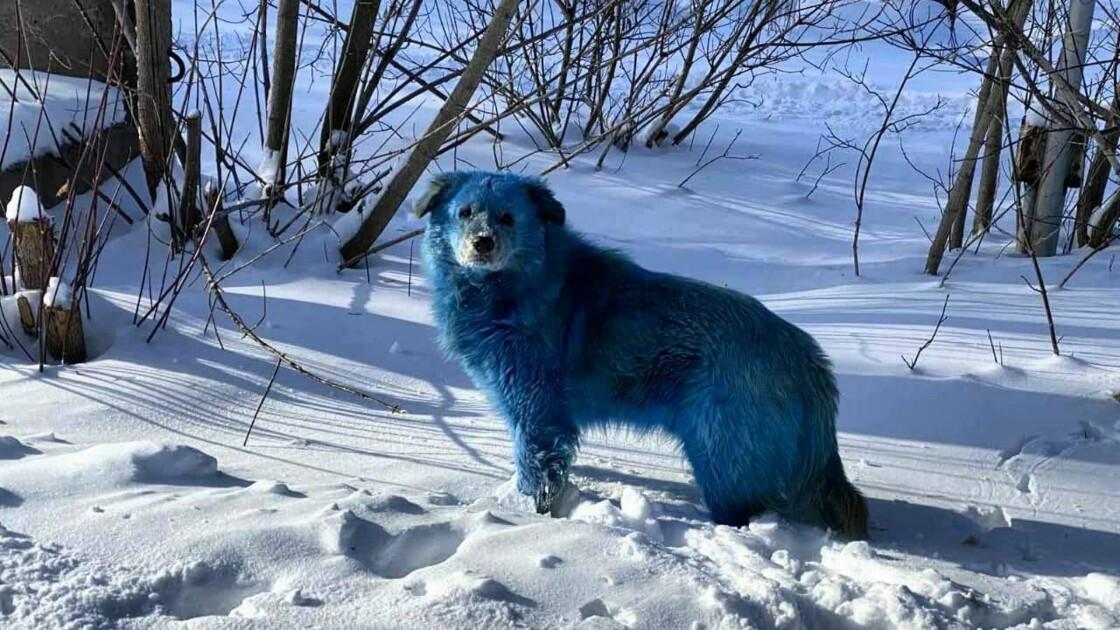 De mystérieux chiens bleus observés à Dzerjinsk, en Russie