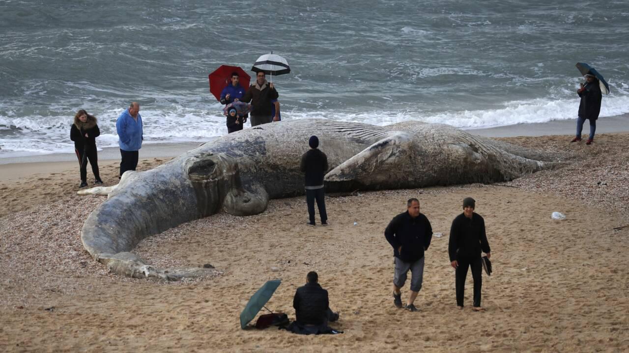 Israël: une baleine morte échouée sur la côte après une tempête