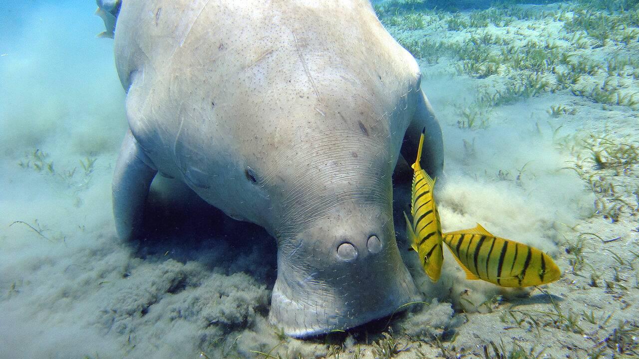 Dugong : qu'est-ce qu'une vache de mer ?