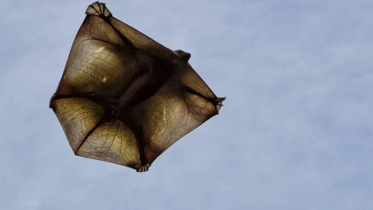 Le colugo, ce drôle de mammifère pro du vol plané