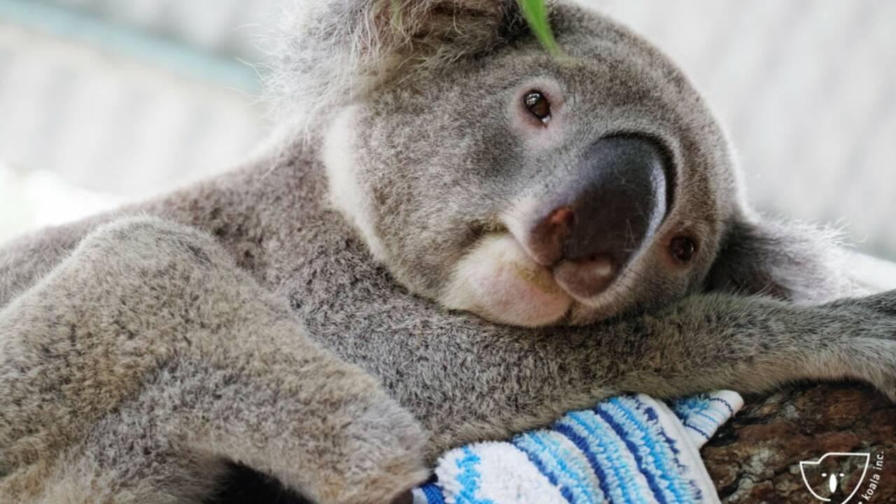 Ce koala, né sans un pied, peut maintenant courir et grimper grâce à l'aide d'un dentiste