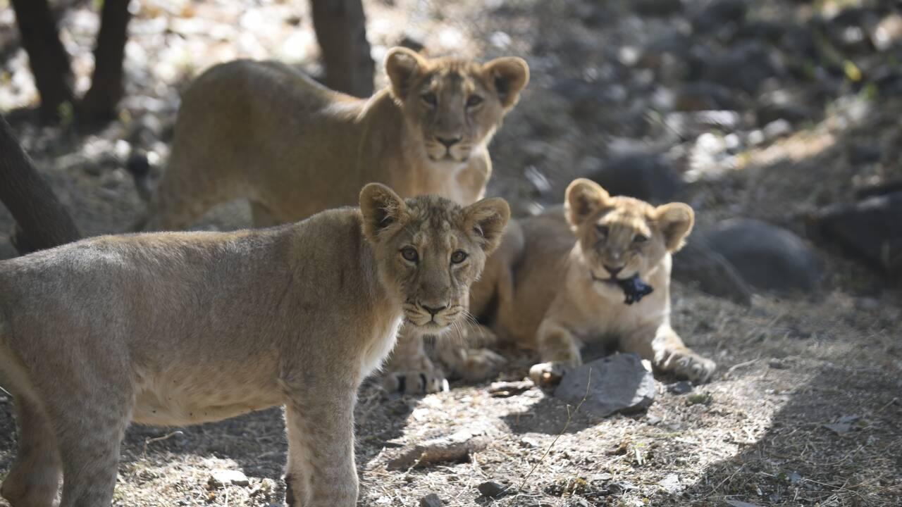 Inde : la dernière population de lions d'Asie menacée par la maladie de Carré