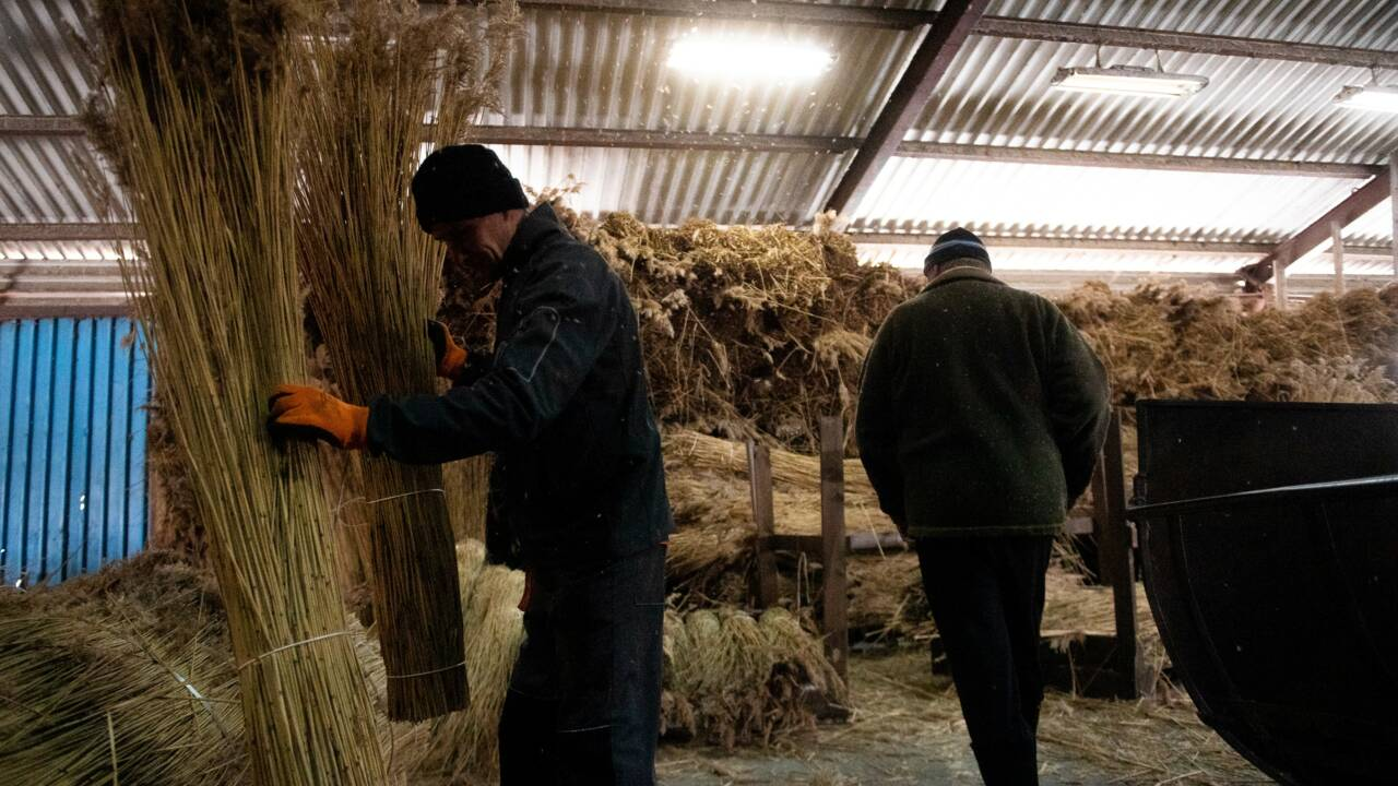 Pologne : la moisson des roseaux, un matériau durable et résistant pour isoler les toits