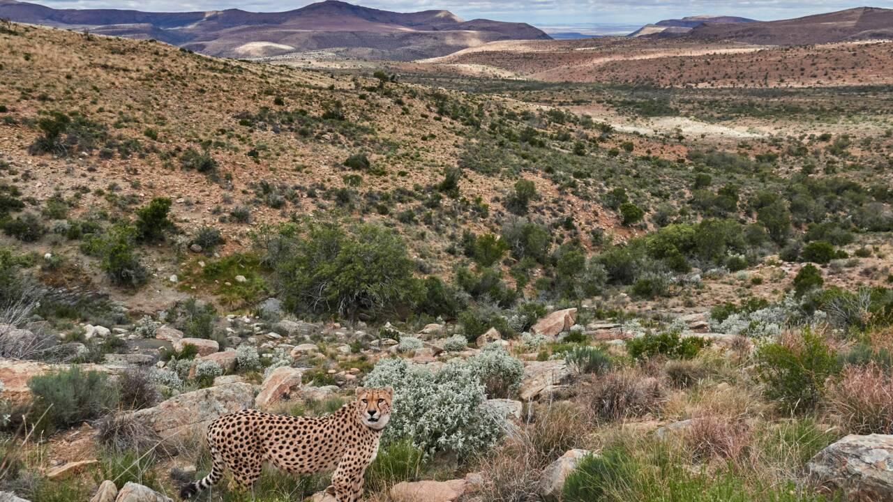 Deux guépards nés en captivité retrouvent la liberté dans une réserve d'Afrique du Sud