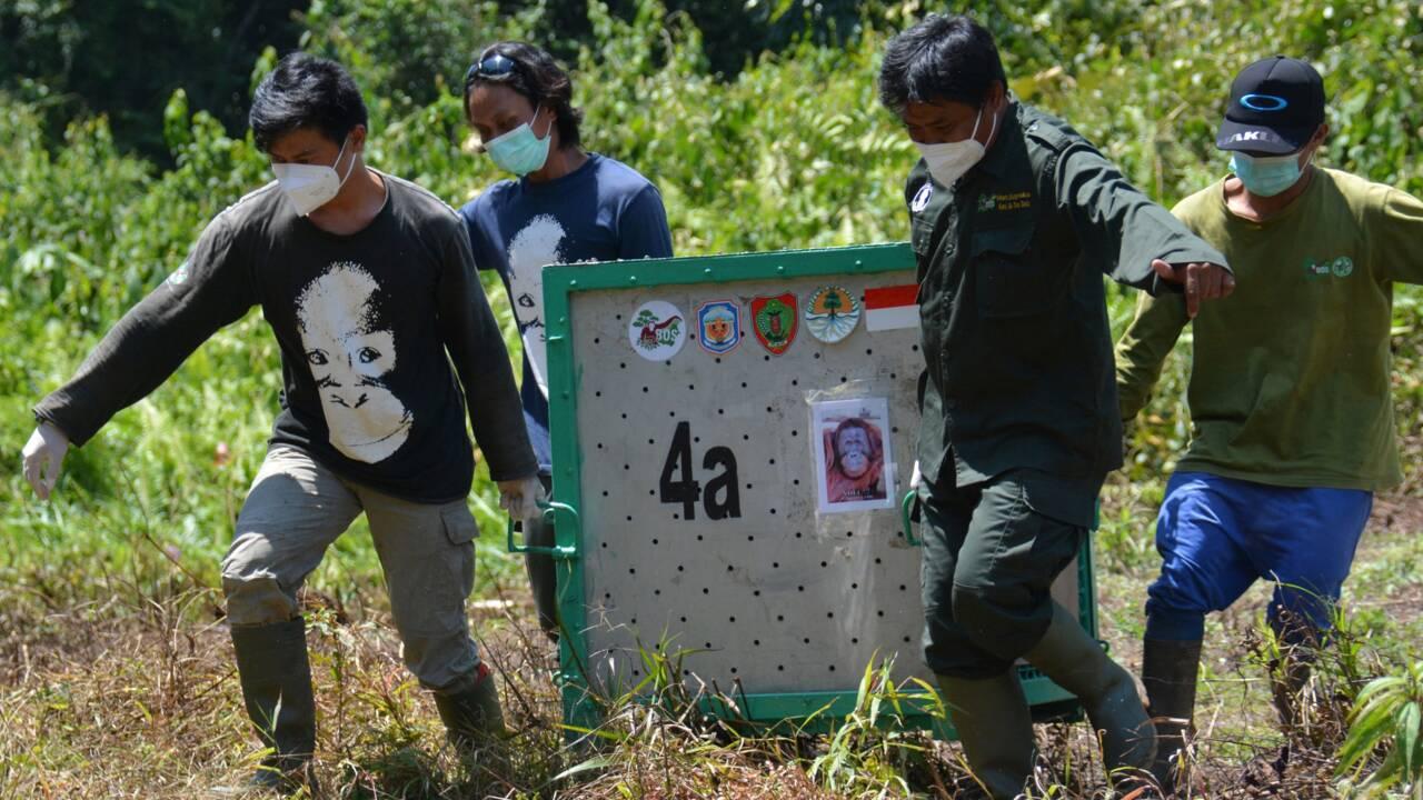 Dix orangs-outans relâchés dans la nature à Bornéo, une première depuis un an