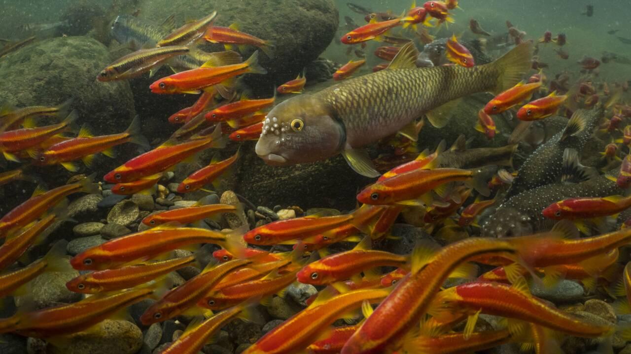 Un tiers des poissons d'eau douce sont menacés d'extinction, selon un rapport
