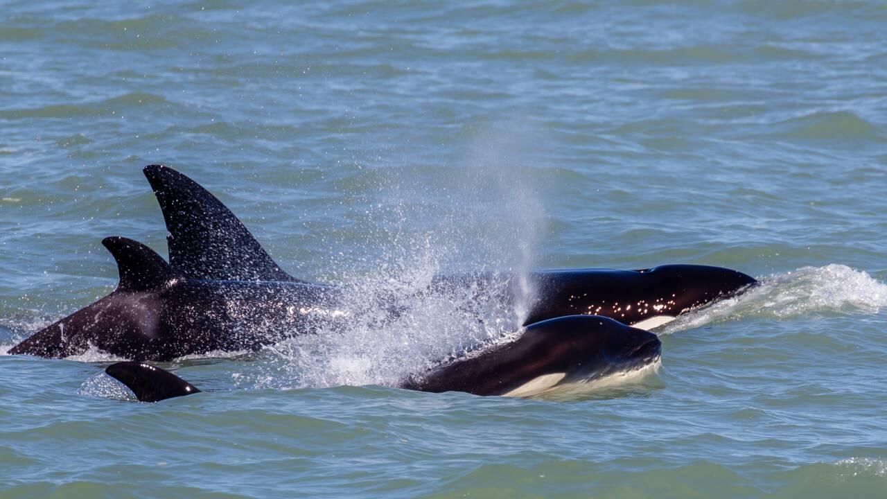 Une jeune baleine à bosse survit à l'attaque d'une quinzaine d'orques en Australie