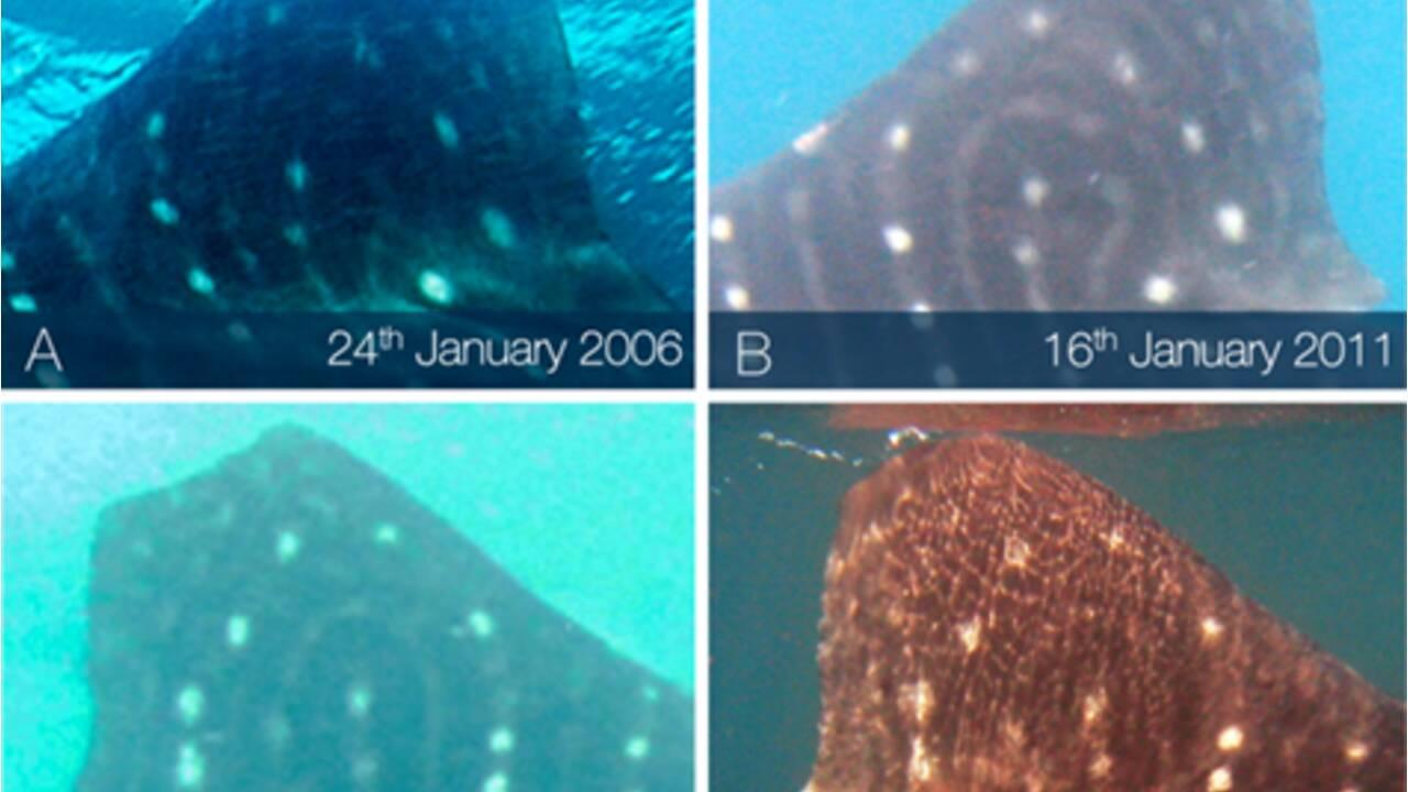 """Les requins-baleines cicatrisent de leurs blessures à une vitesse """"extraordinaire"""""""