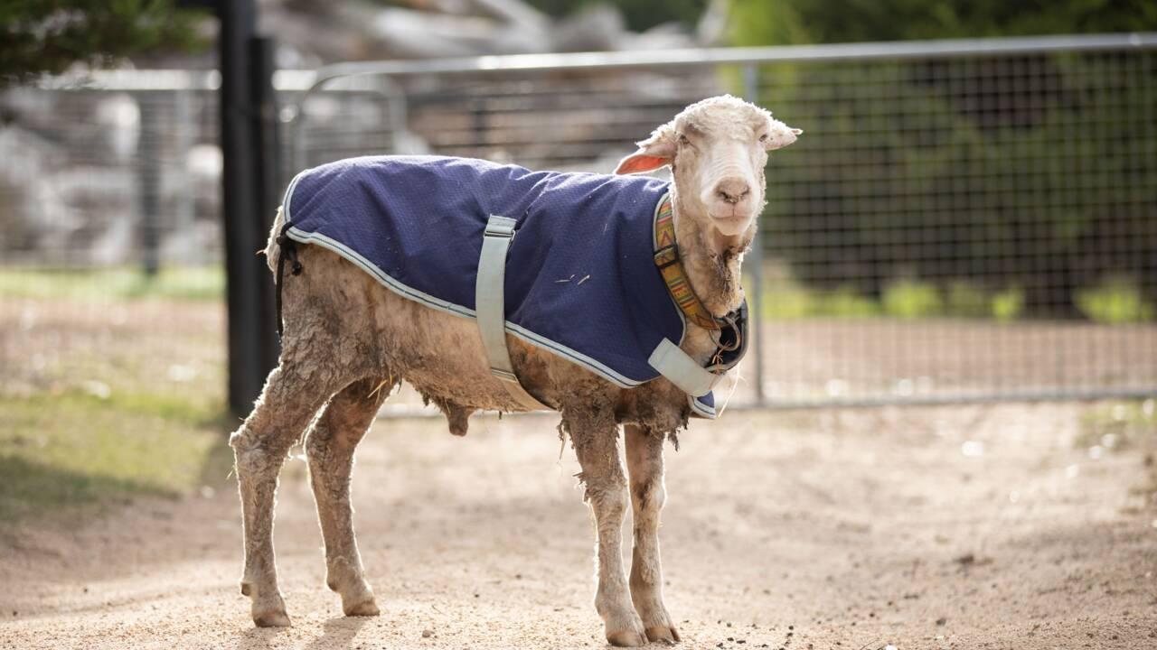 Australie: Baarack le mouton sauvage a été délesté de son pelage de 35 kg
