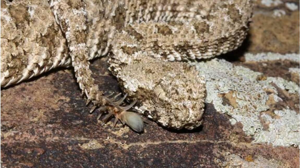 Cette vipère iranienne capture ses proies en se faisant passer pour... une araignée