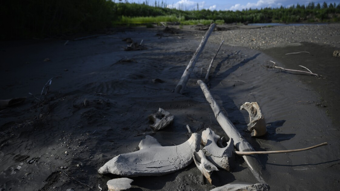 L'ivoire de mammouth, un commerce lucratif en pleine expansion en Sibérie