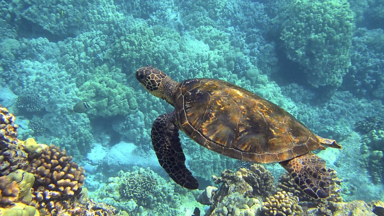 Israël : des tortues sauvées d'une marée noire grâce à de la mayonnaise