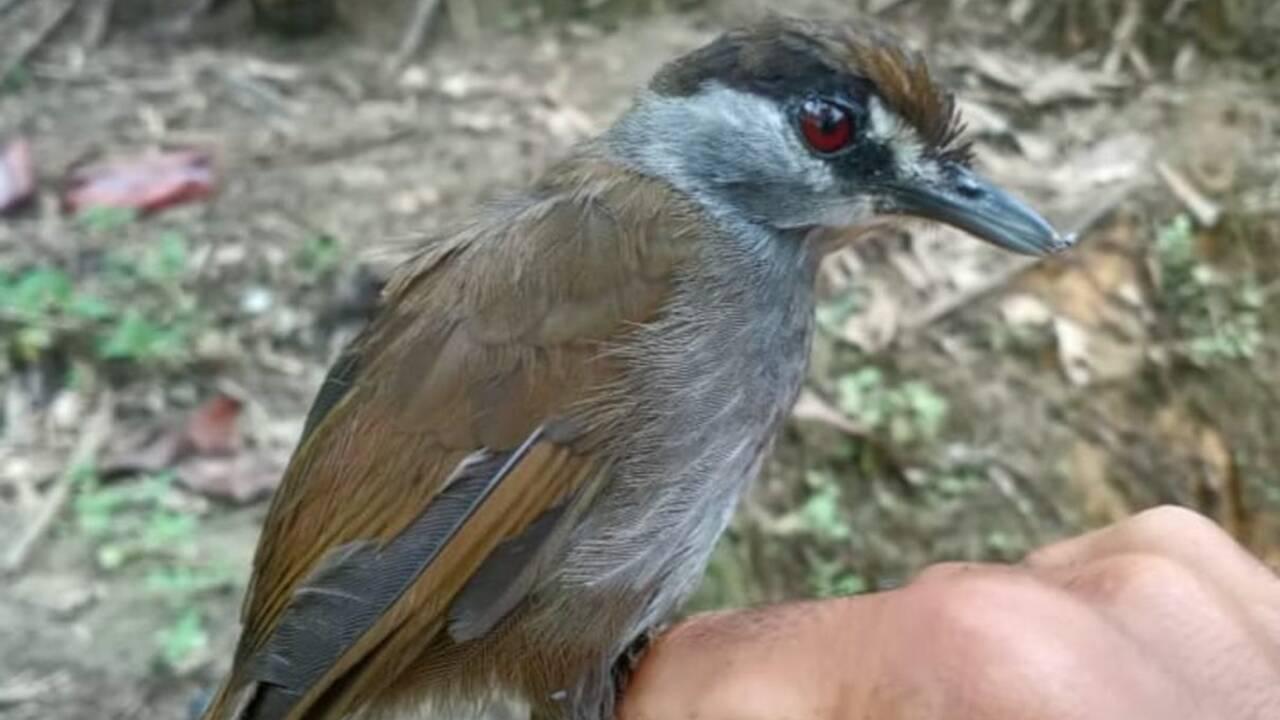L'akarat à sourcils noirs, un oiseau pas vu depuis 170 ans redécouvert à Bornéo
