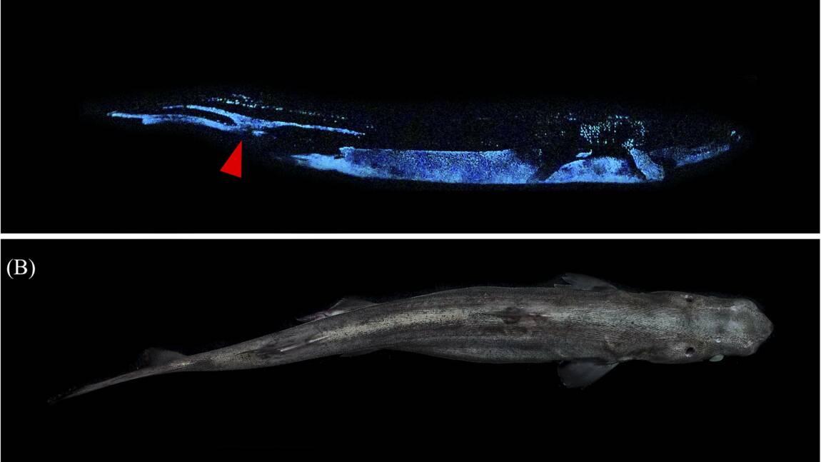 Découverte de 3 requins lumineux en Nouvelle-Zélande