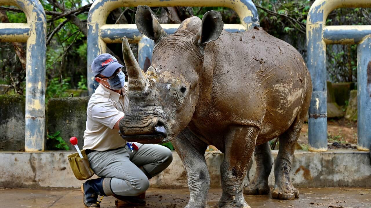 Emma, rhinocéros taïwanais en quête d'amour au Japon