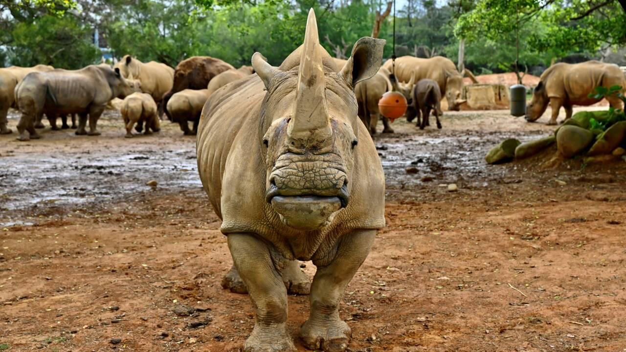 Une femelle rhinocéros blanc arrivée au Japon pour trouver l'amour