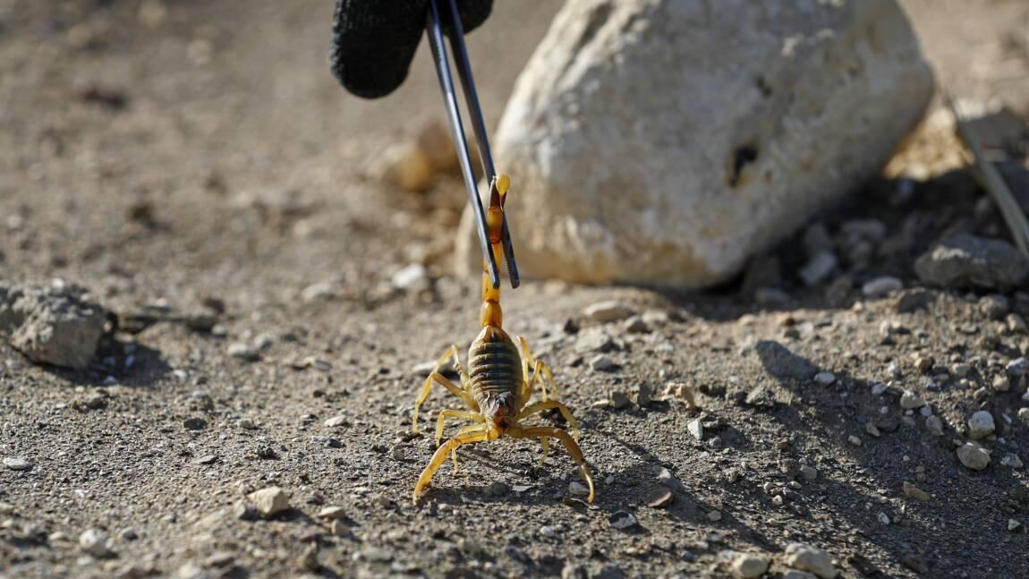 Dans le désert égyptien, le potentiel prometteur du venin de scorpion