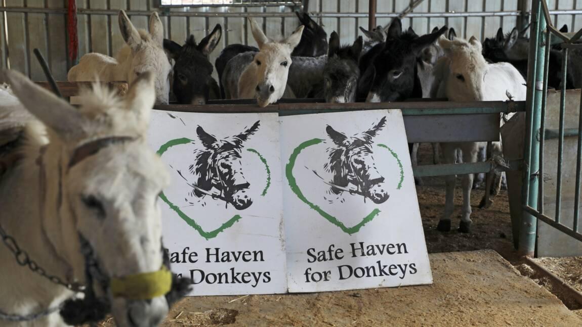 Un refuge remet sur pied des dizaines d'ânes en Cisjordanie