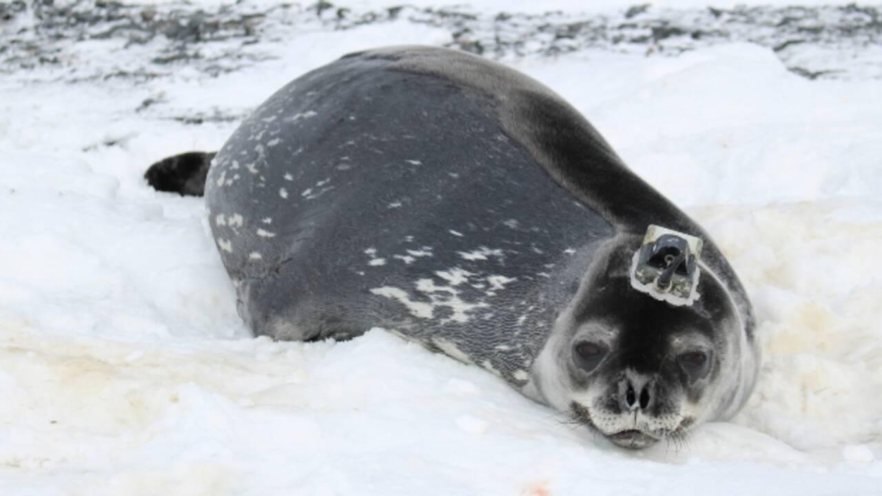 En Antarctique, des phoques épaulent des scientifiques pour recueillir des données sur la fonte des glaces
