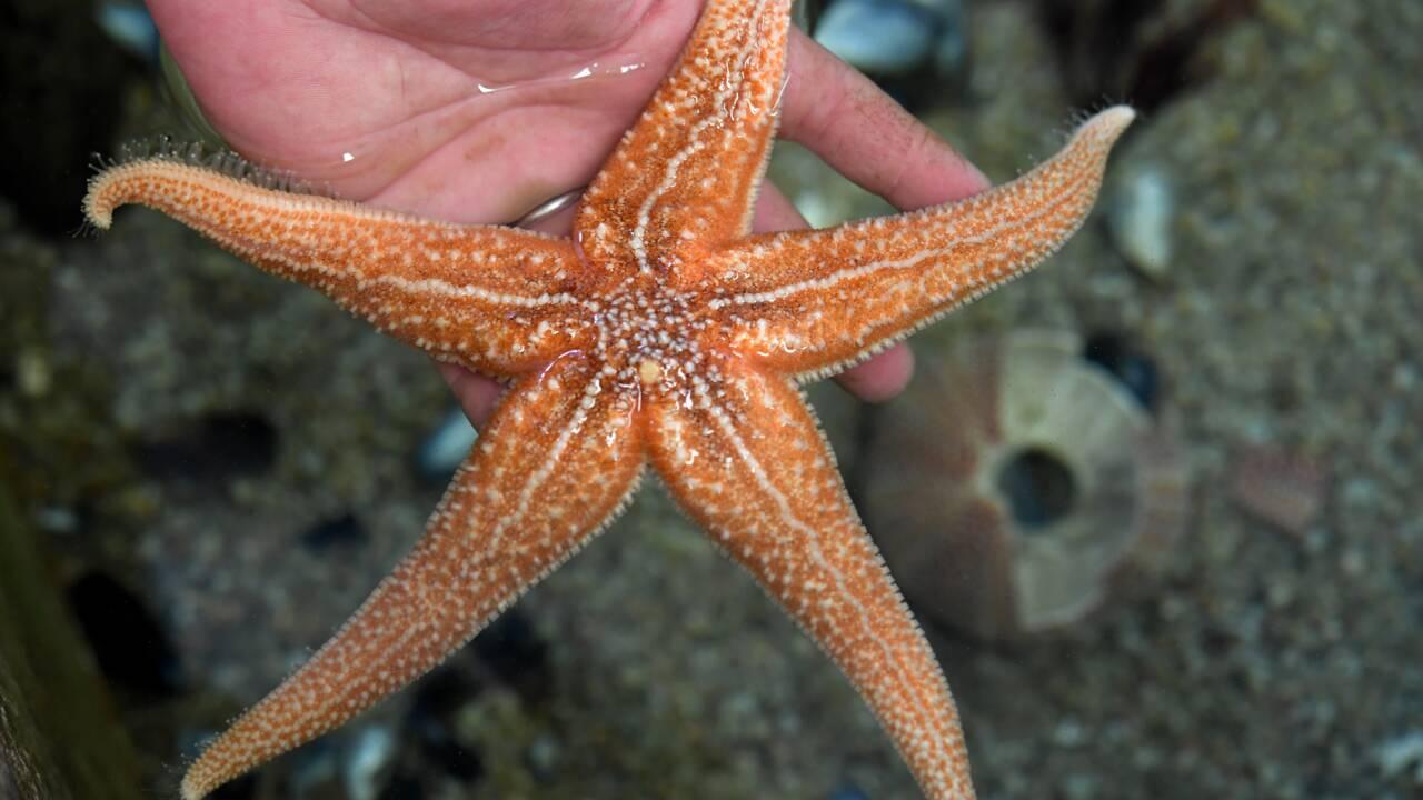 Fascinantes mais inquiétantes, les étoiles de mer se cherchent un avenir