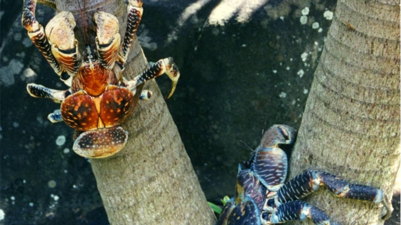 Le crabe de cocotier, ce crustacé géant capable de grimper aux arbres
