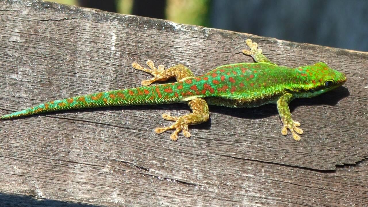 Gecko vert de Bourbon, ti-molosse... Cinq petits animaux de La Réunion à protéger