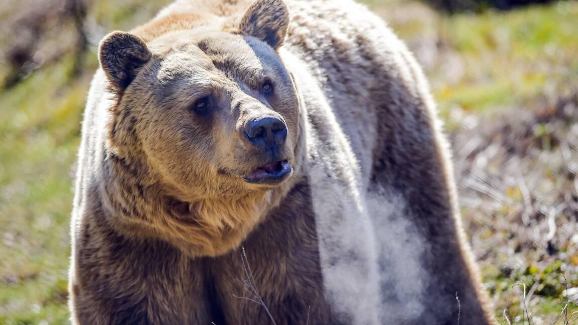 Au Kosovo, les anciens ours de restaurant ont été libérés