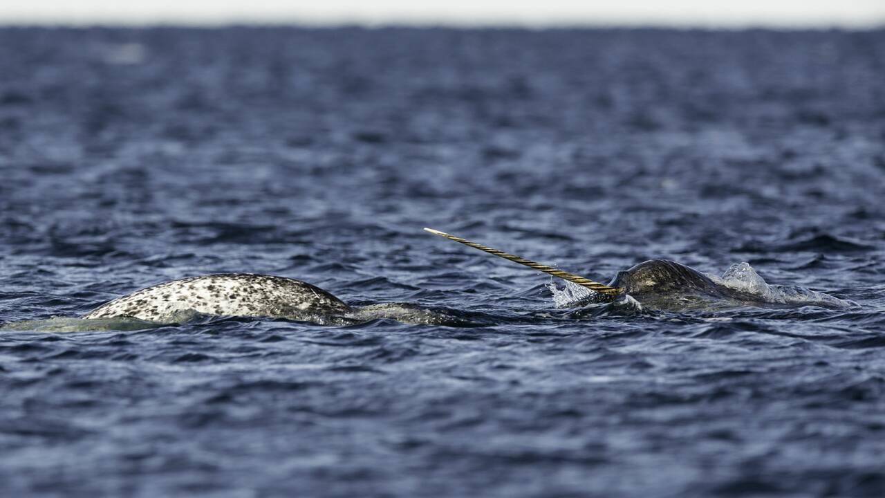 La défense des narvals, une mine d'informations sur le passé de ces étonnants cétacés