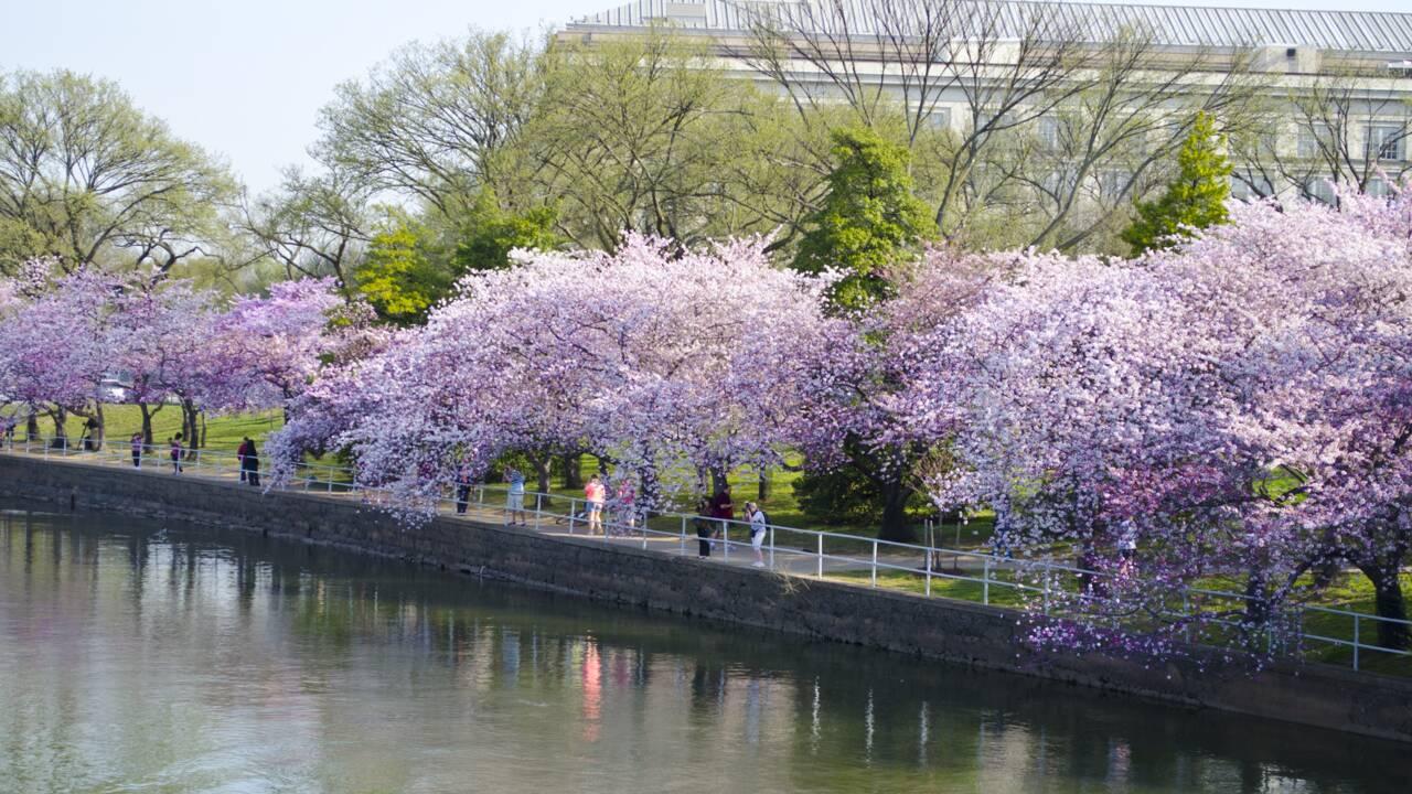 La saison de floraison des cerisiers a démarré au Japon