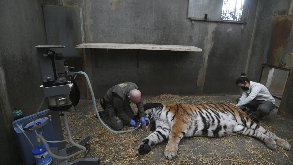 Zoo de Mulhouse: opération dentaire réussie pour Baïkal, tigre de 14 ans