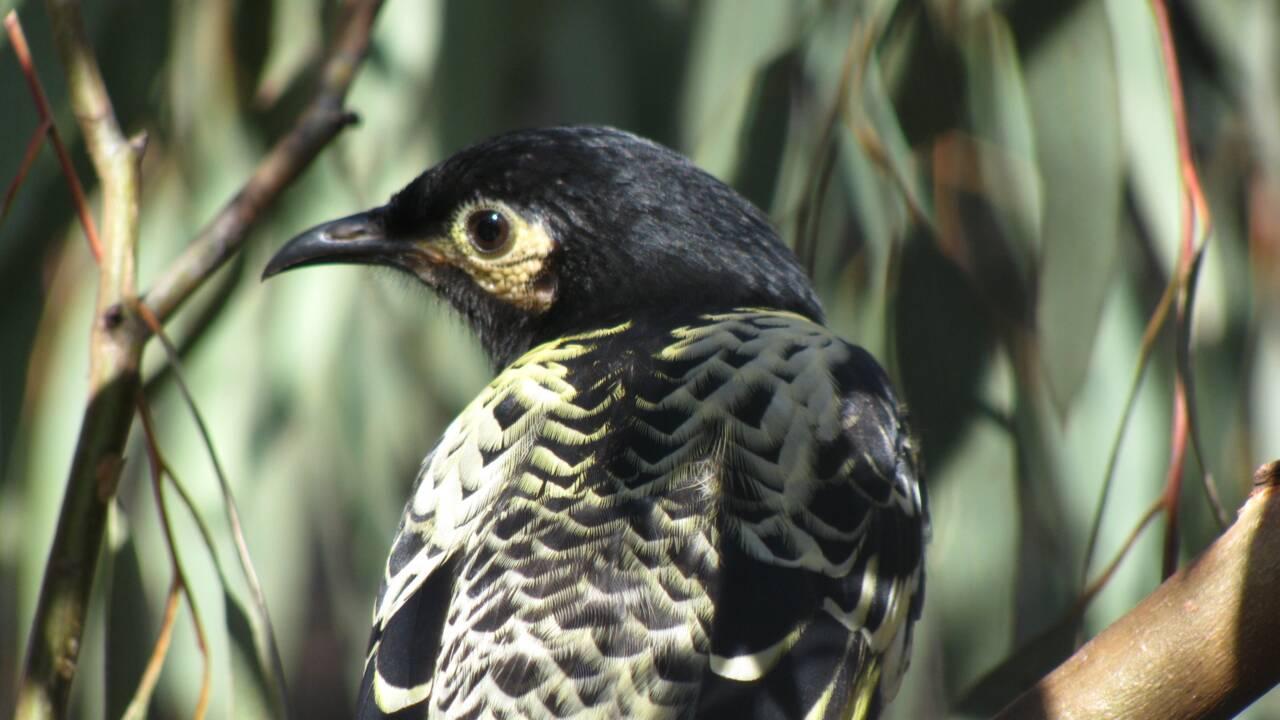 Australie : cet oiseau menacé est devenu tellement rare qu'il en oublie comment chanter