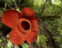 L'étrange vie de Rafflesia arnoldii, la plus grande fleur au monde