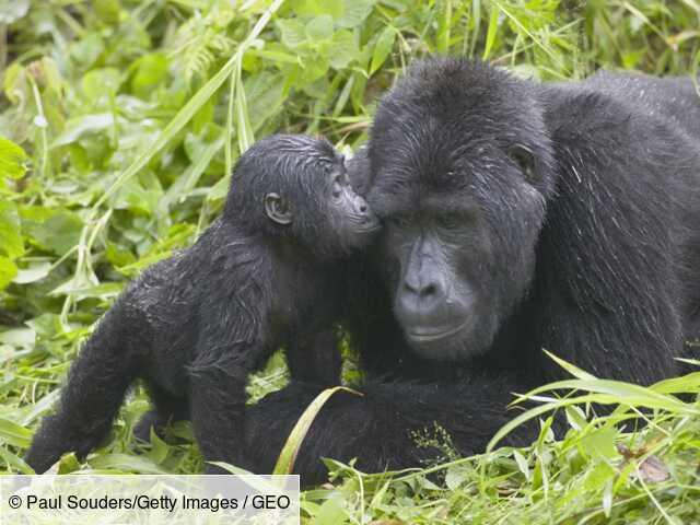Chez les gorilles, les familles s'unissent pour soutenir les jeunes qui ont perdu leur mère