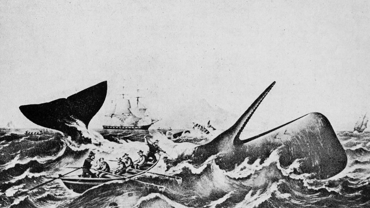 Comment les cachalots ont appris au XIXe siècle à échapper aux chasseurs de baleine