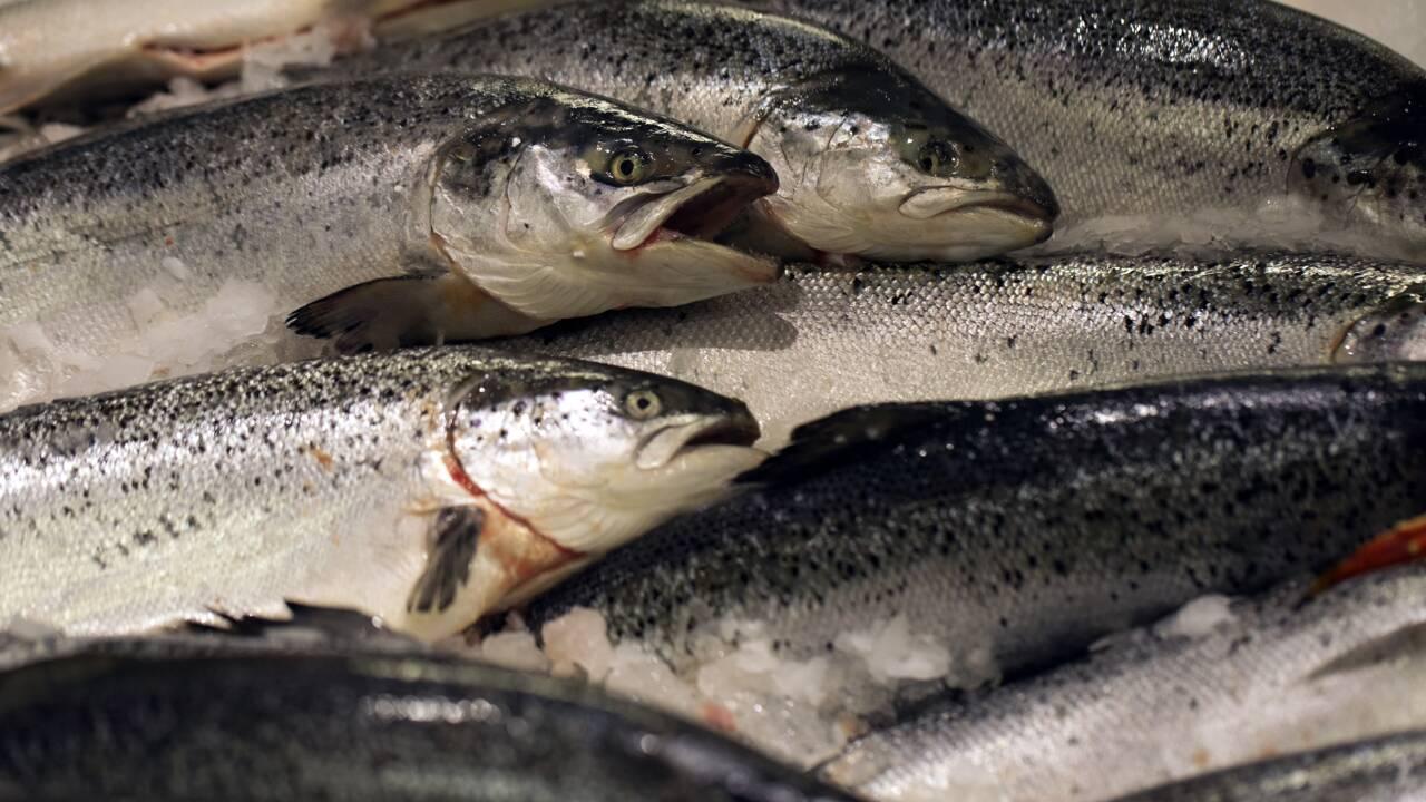Saumon d'Écosse: les conditions d'élevage pointées du doigt par une ONG