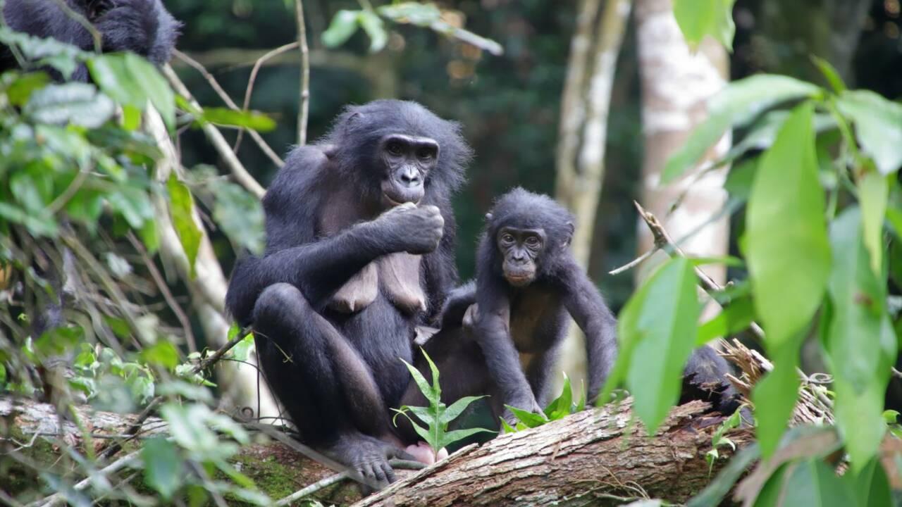 Pour la première fois, des bonobos observés à adopter des petits extérieurs à leur groupe