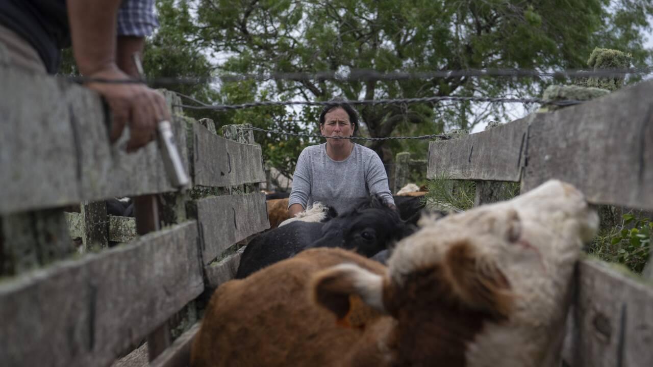 L'Uruguay, le pays aux 4 vaches par habitant, veut verdir son élevage
